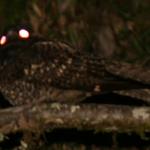 Caprimulgus longirostris