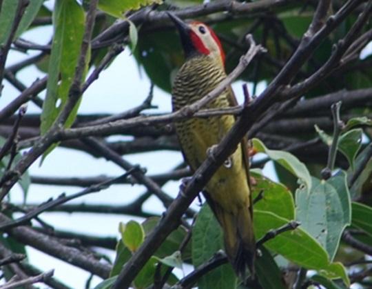 Avistamiento de aves - Colaptes rubiginosus