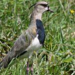 Alcaraván- Vanellus chilensis