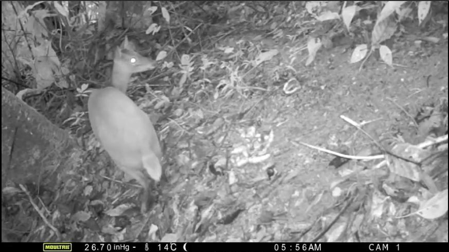 LOS 5 MITOS MÁS COMUNES DE LAS CÁMARAS DE FOTOTRAMPEO (Venado cola blanca (Odocoileus virginianus) moultrie a-25