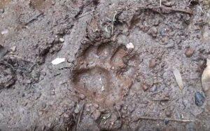 Huella de puma en suelo húmedo