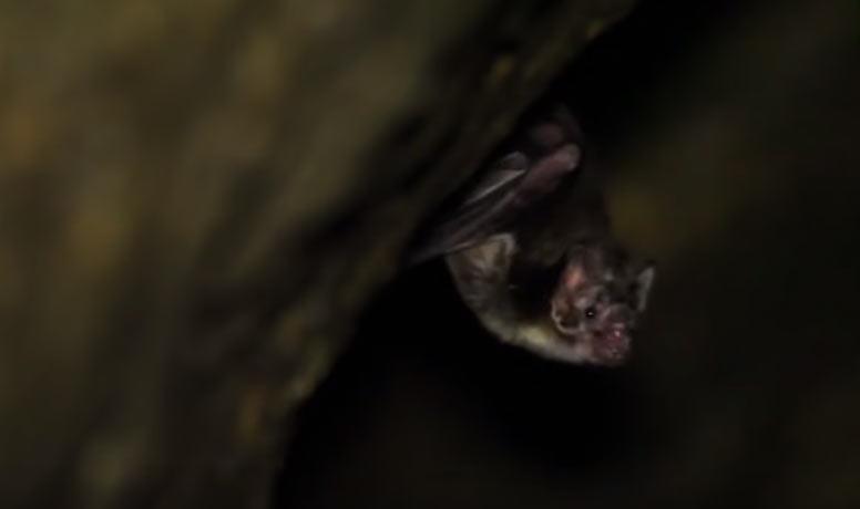 Los Murciélago vampiro (Desmodus rotundus), en cueva.