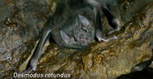Murciélago Vampiro (Desmodus rotundus) Control, exclusión y eliminación