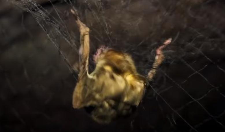 Murciélago Vampiro capturado en red de niebla