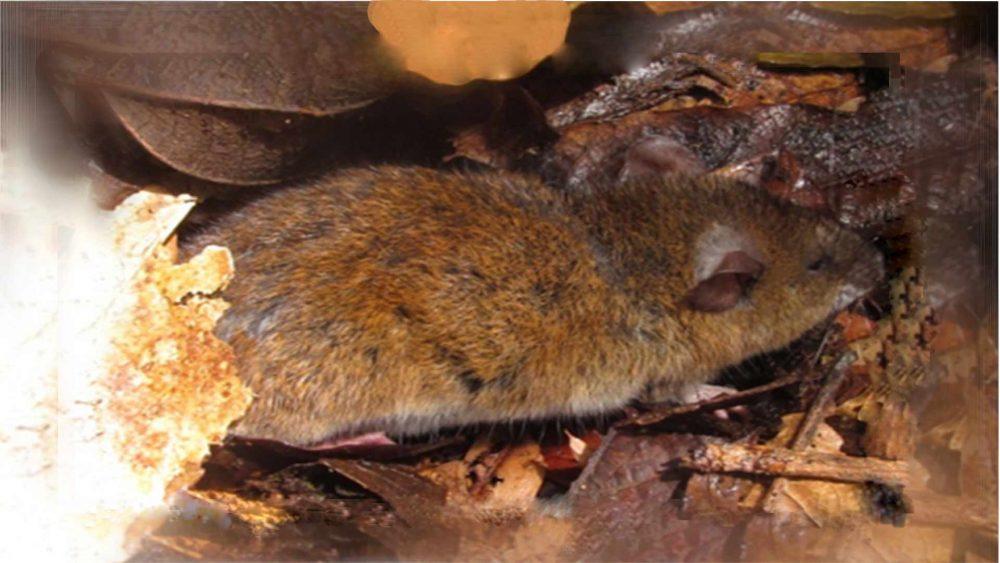Captura de pequeños mamíferos Nephelomys albigularis